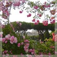 La roseraie de l'Aventin est ouverte !